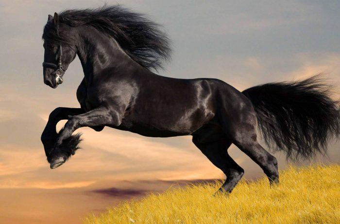 Cavalo Akhal-Teke Os cavalos Akhal-Teke possuem caraterísticas muito definidas como a sua cabeça fina, as suas longas orelhas e os seus olhos muito vivazes e de grande tamanho.